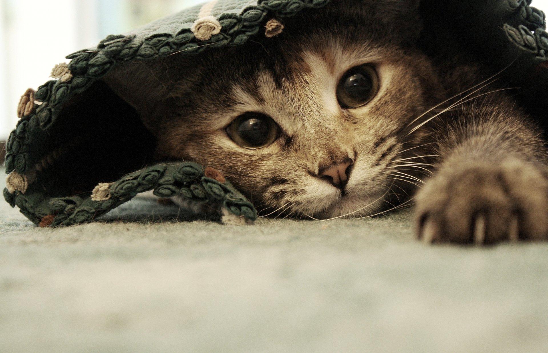 запеканок обои на пк коты обещанной