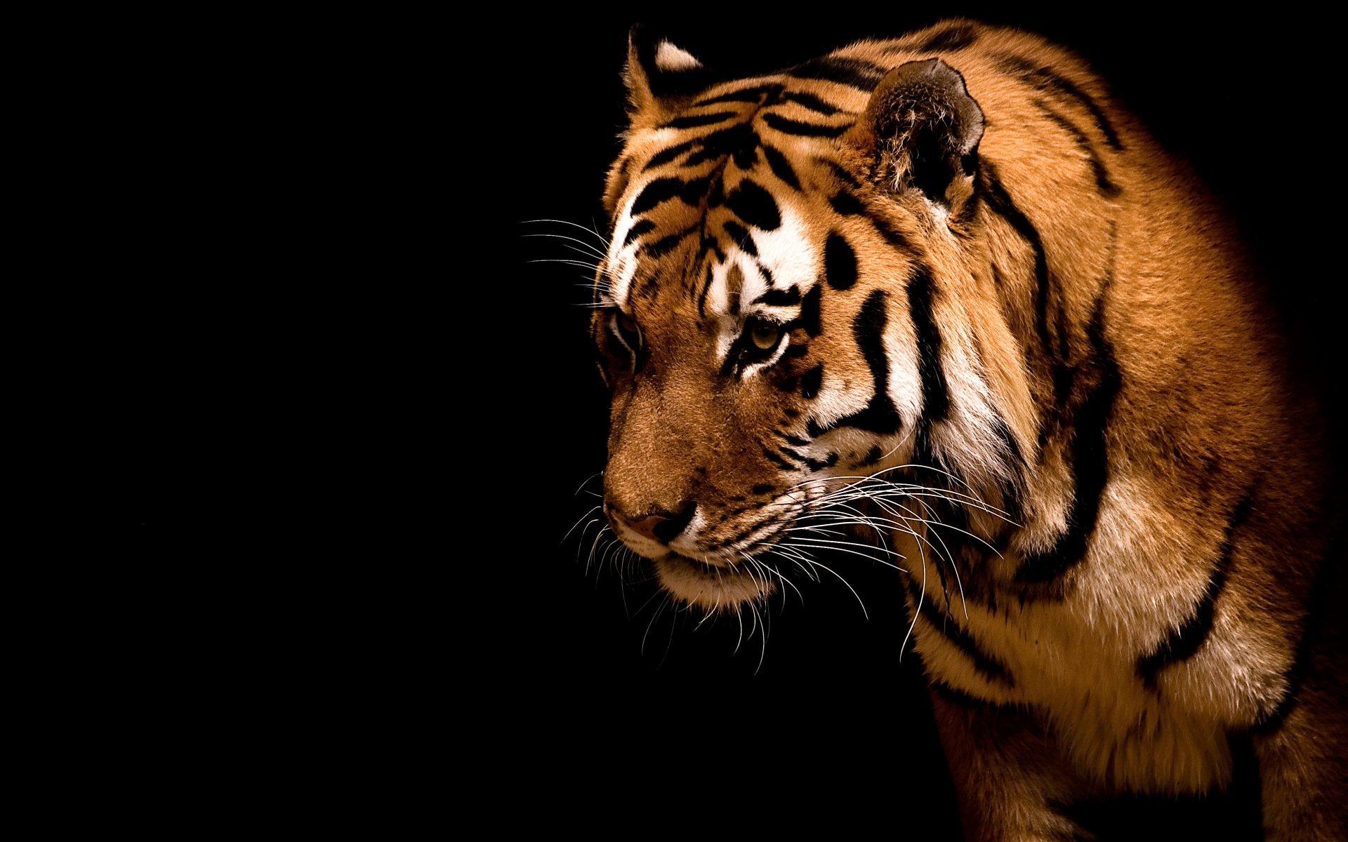 Обои Кошка, tigr, зверь. Кошки foto 16