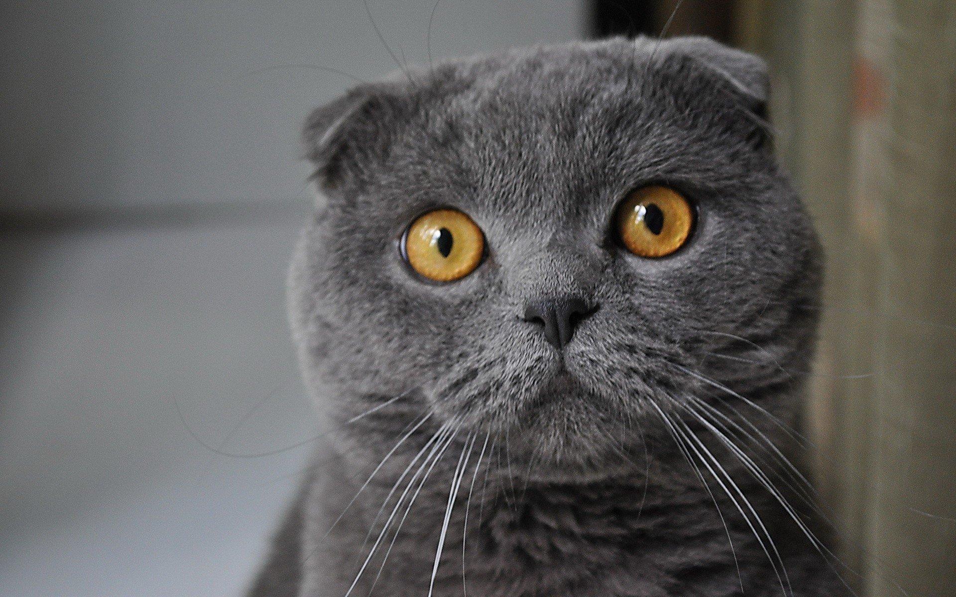 Картинки британских котов приколы, для поздравления