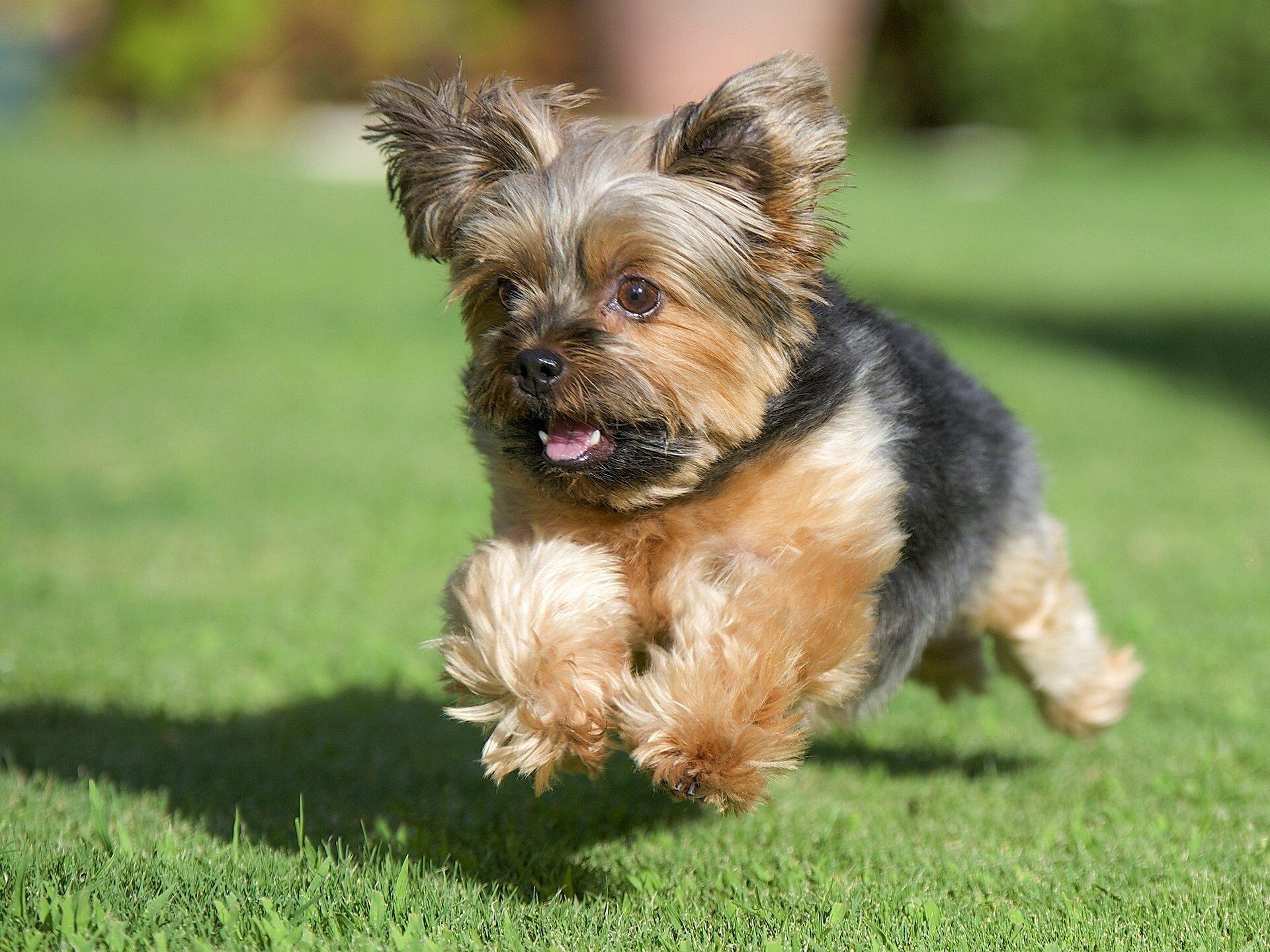 Порода собаки йоркширский терьер фото