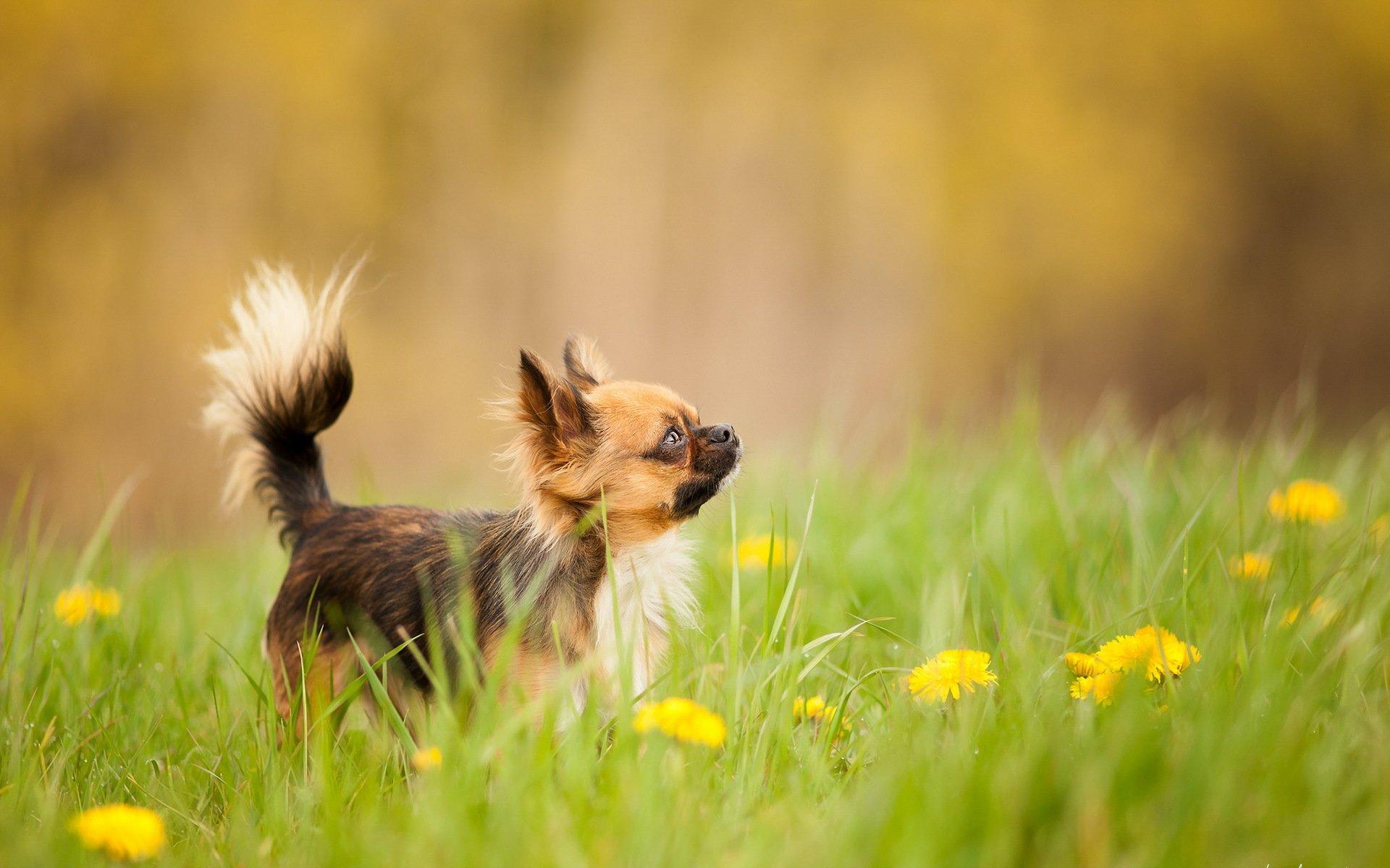 Собака с одуванчиком скачать