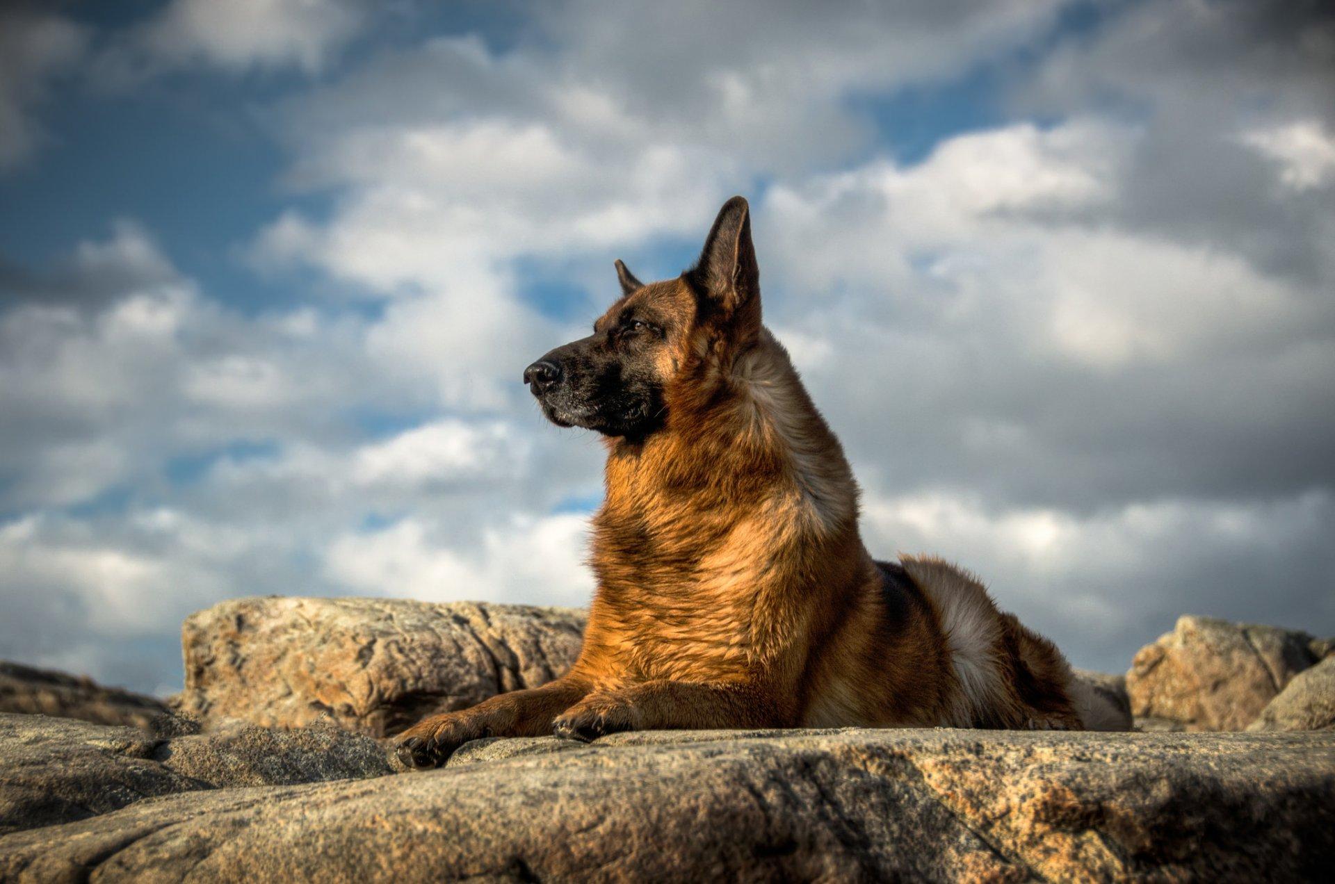 немецкая овчарка собака взгляд HD обои для ноутбука