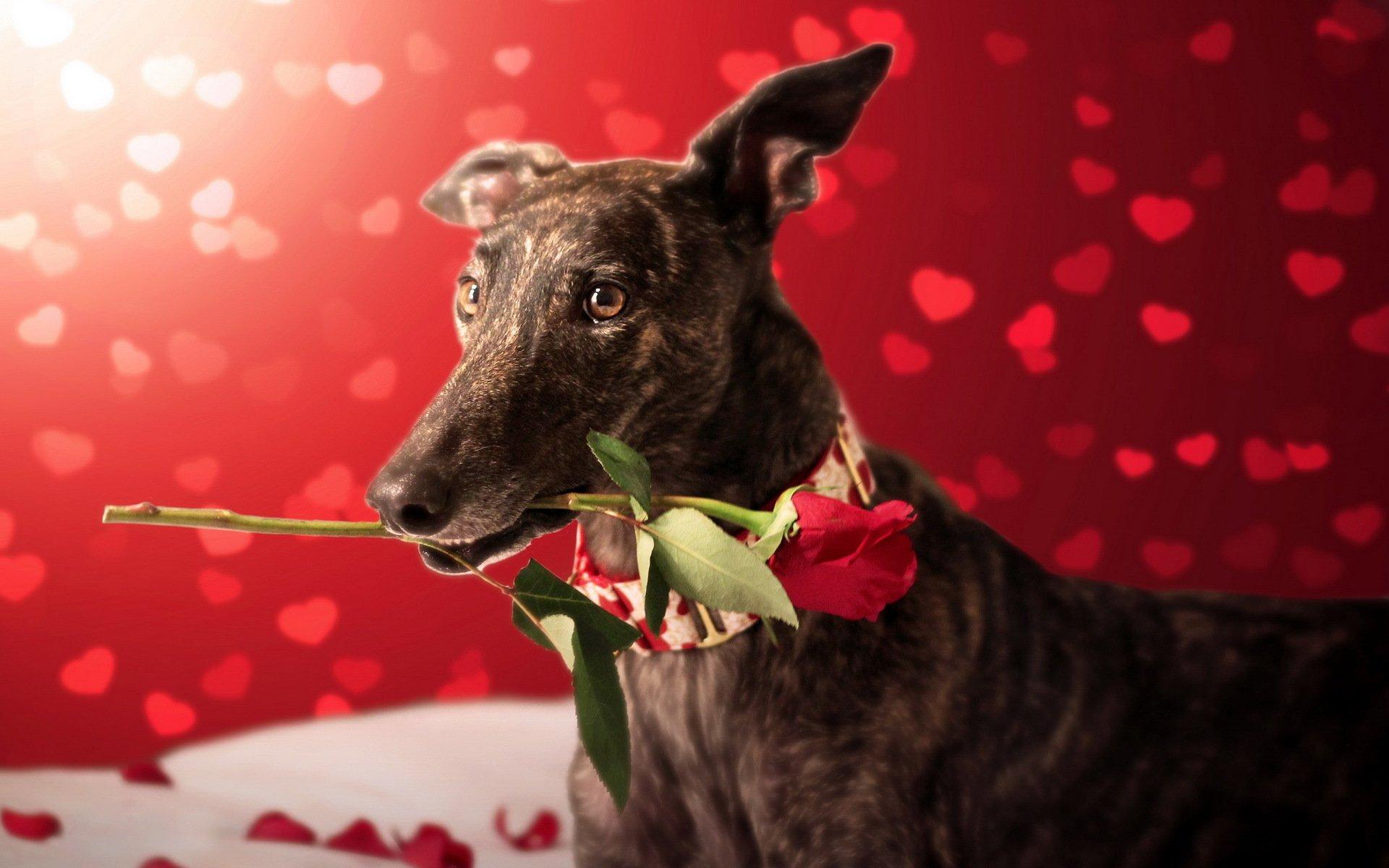 розы картинки с собаками популярность