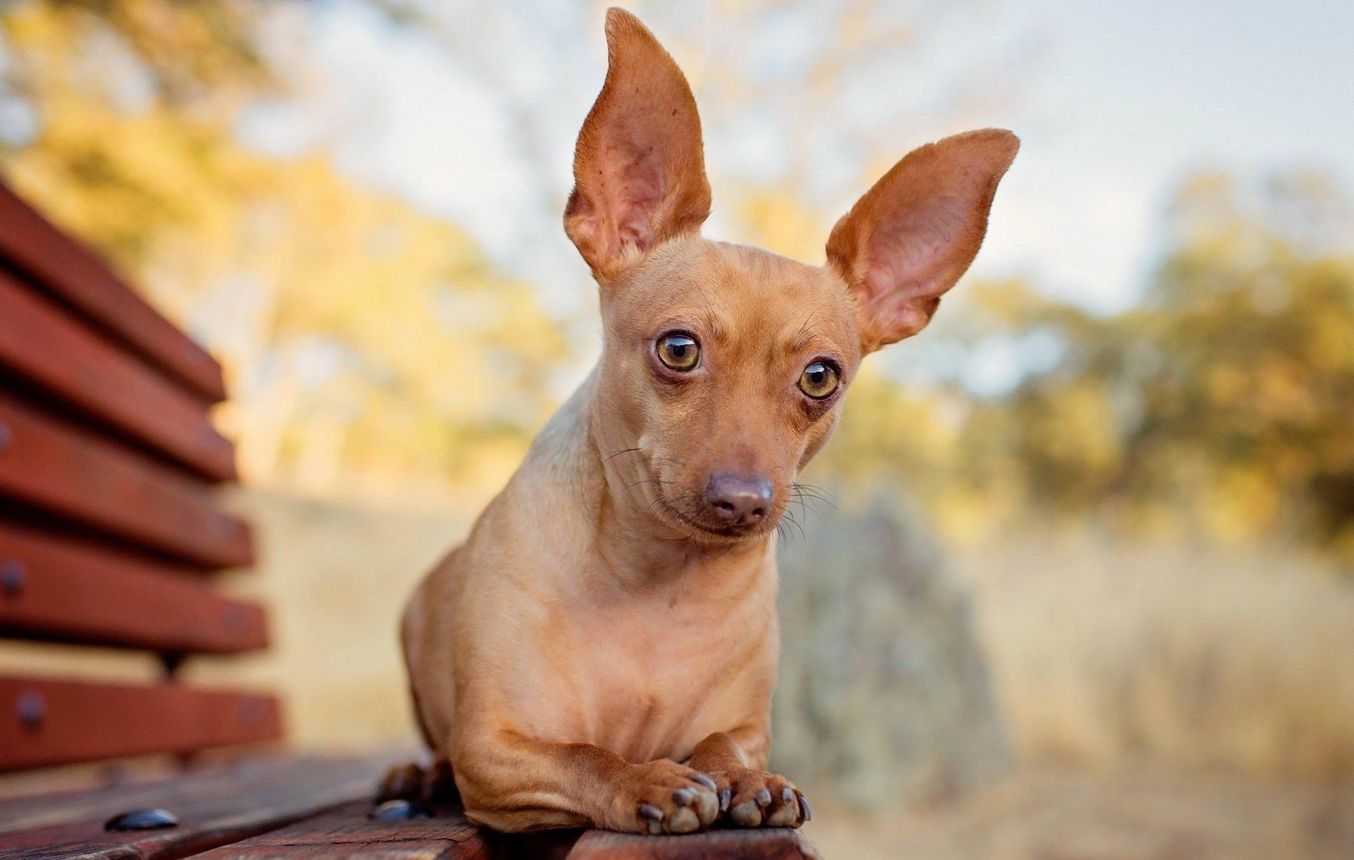 Картинки с маленькими гладкошерстными собаками