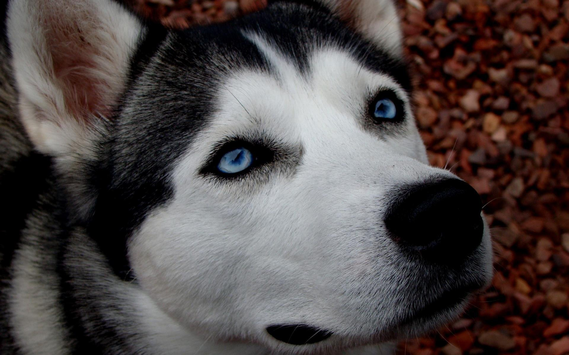 красивые картинок собак хаски стихах