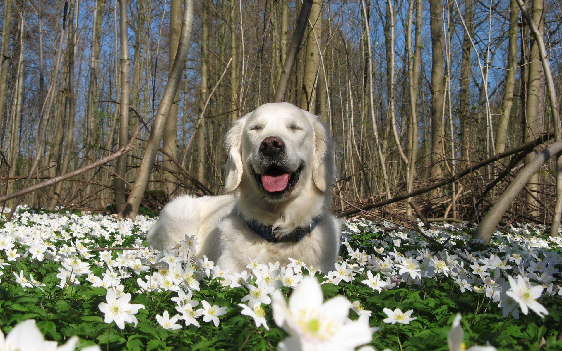 собака весна природа цветы HD обои для ноутбука