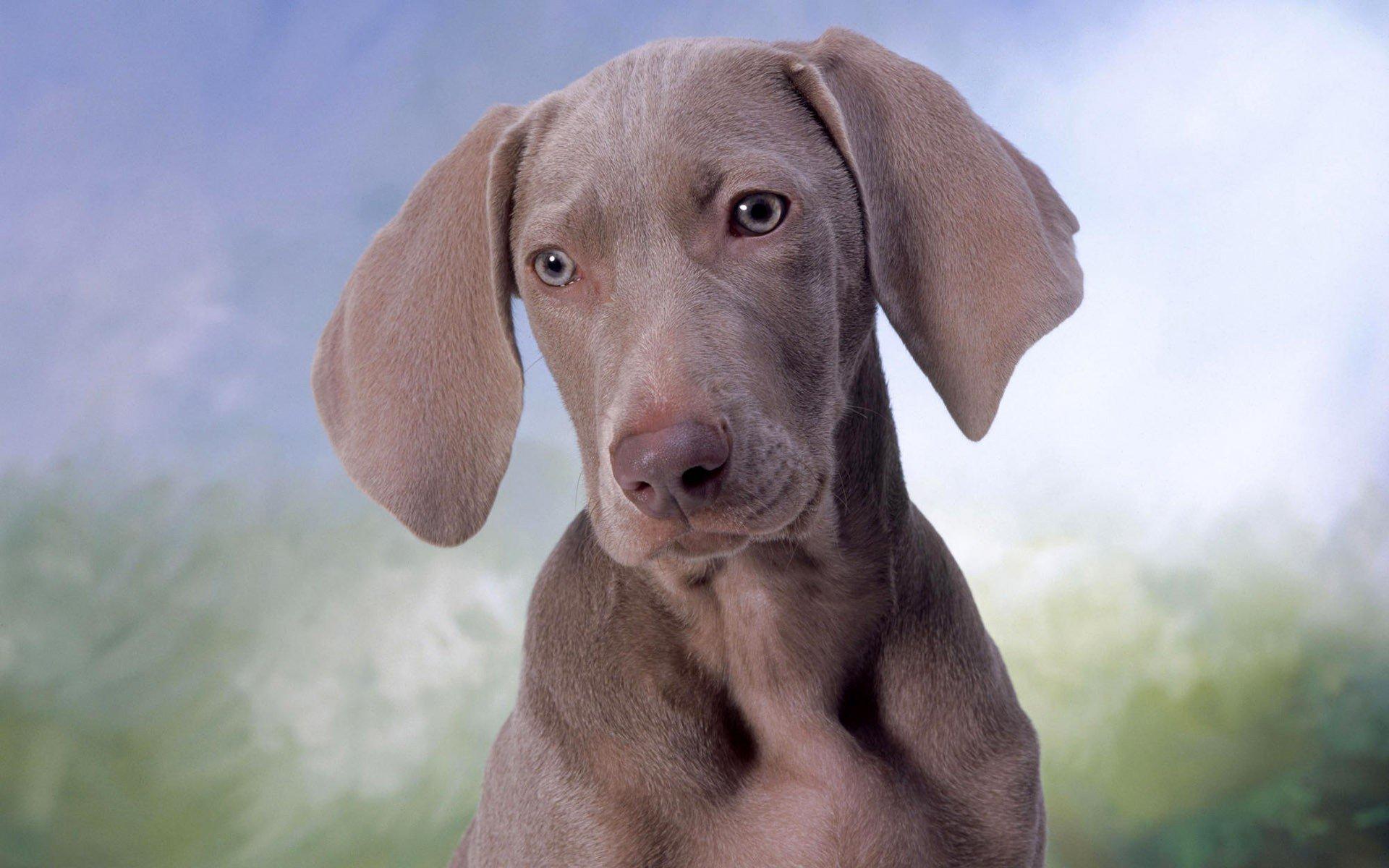 собака мордочка уши  № 1069369 загрузить