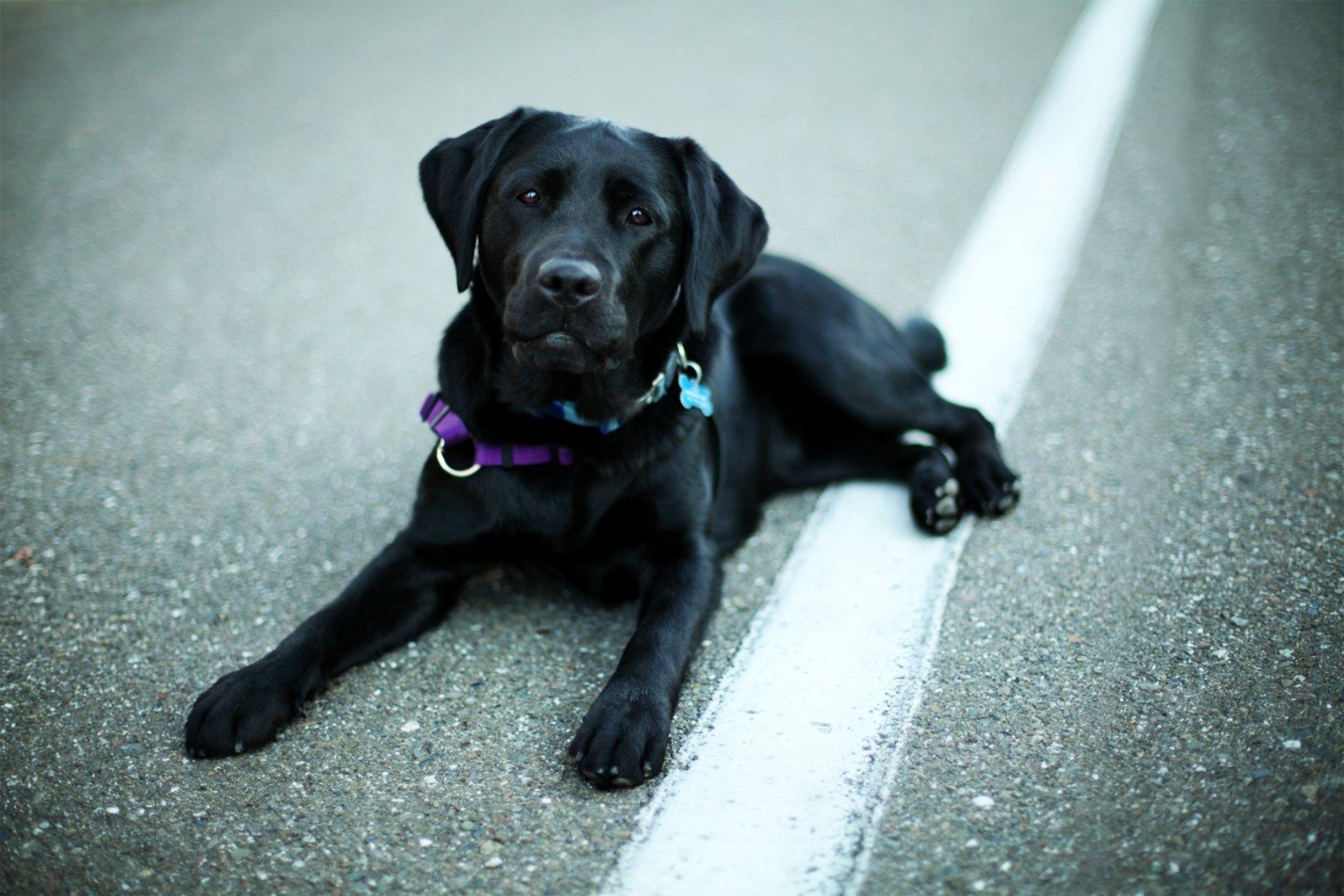 собаки лабрадор фото чёрный