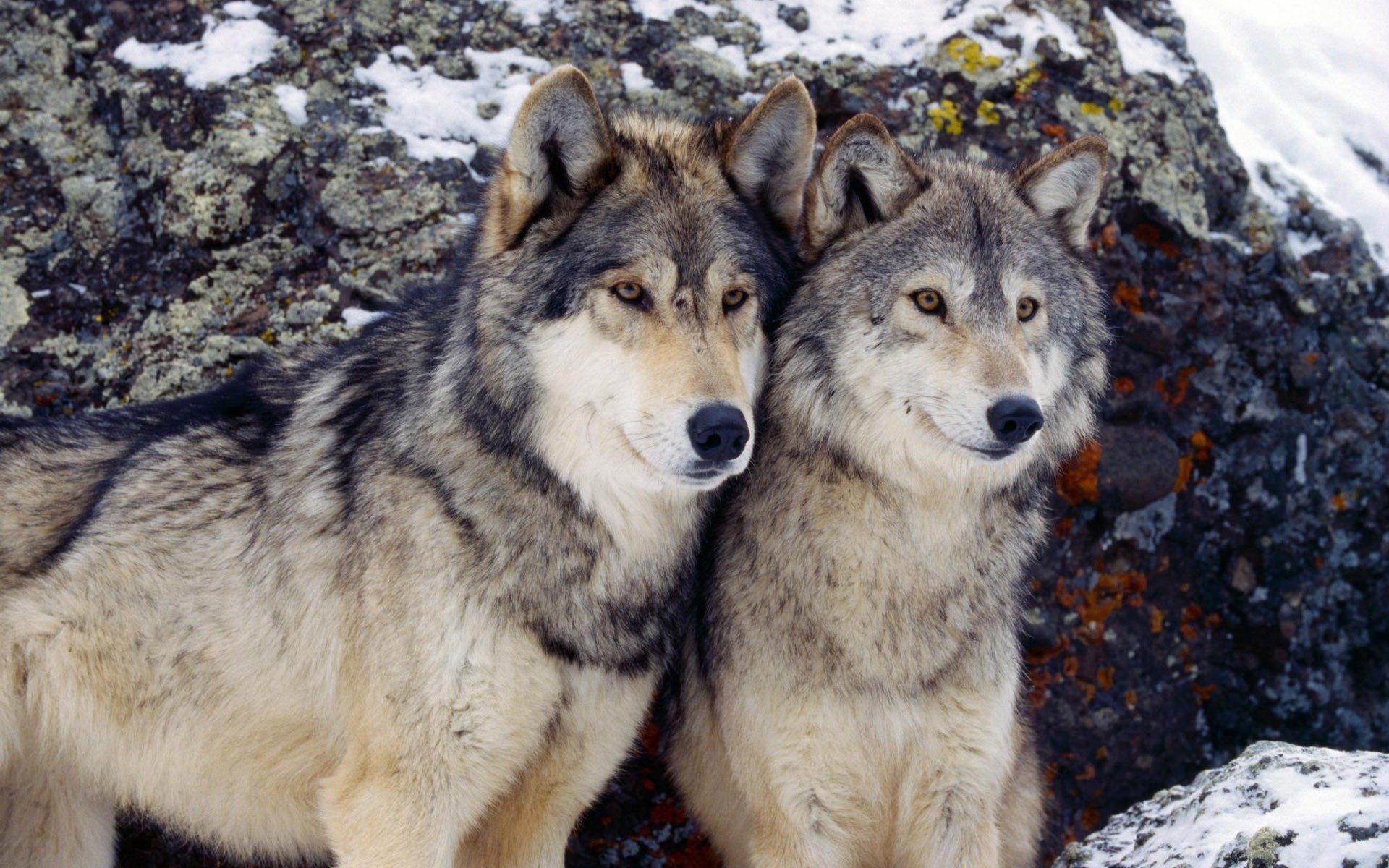 Красивые картинки фото волки