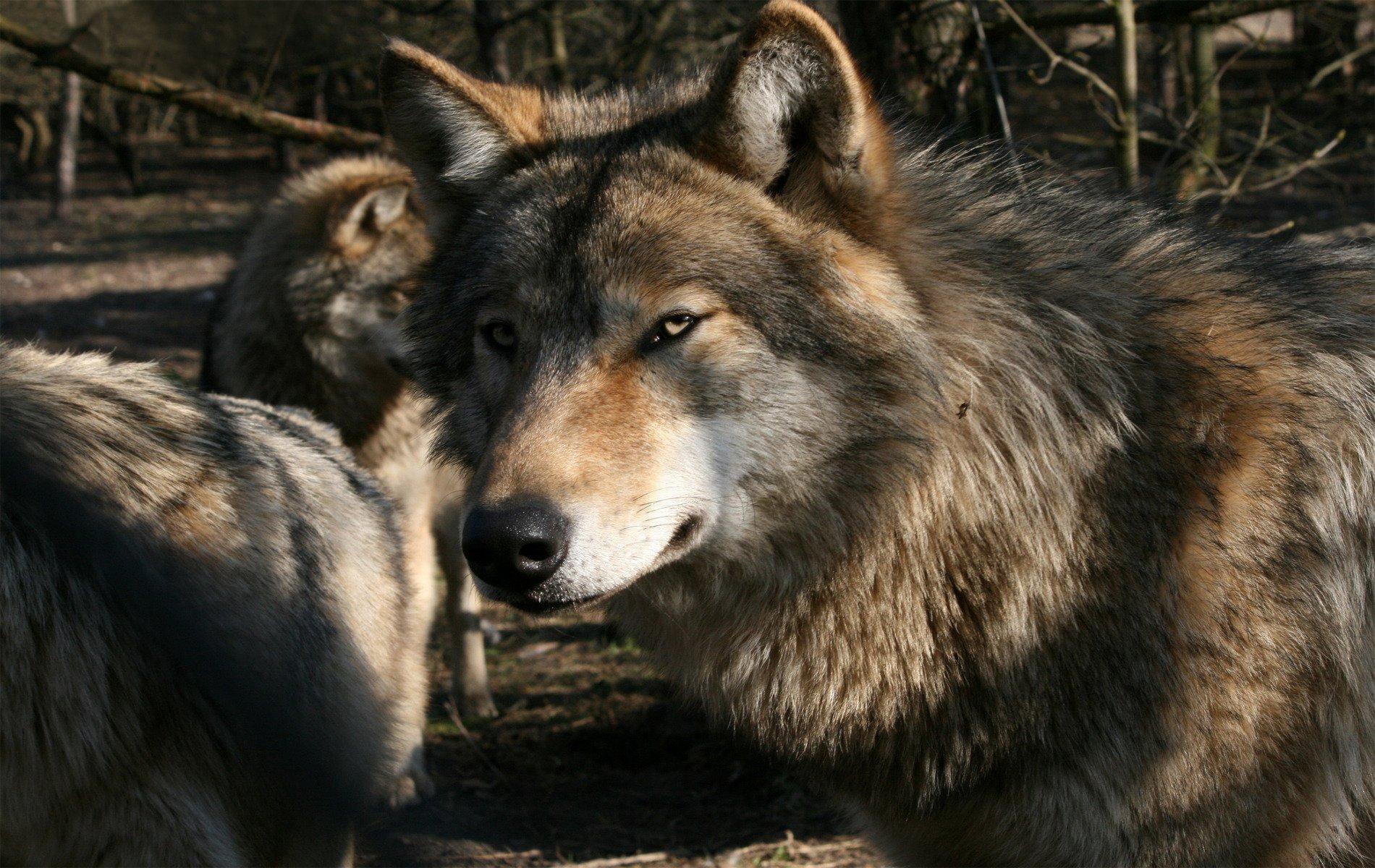 волки самое лучшее фото