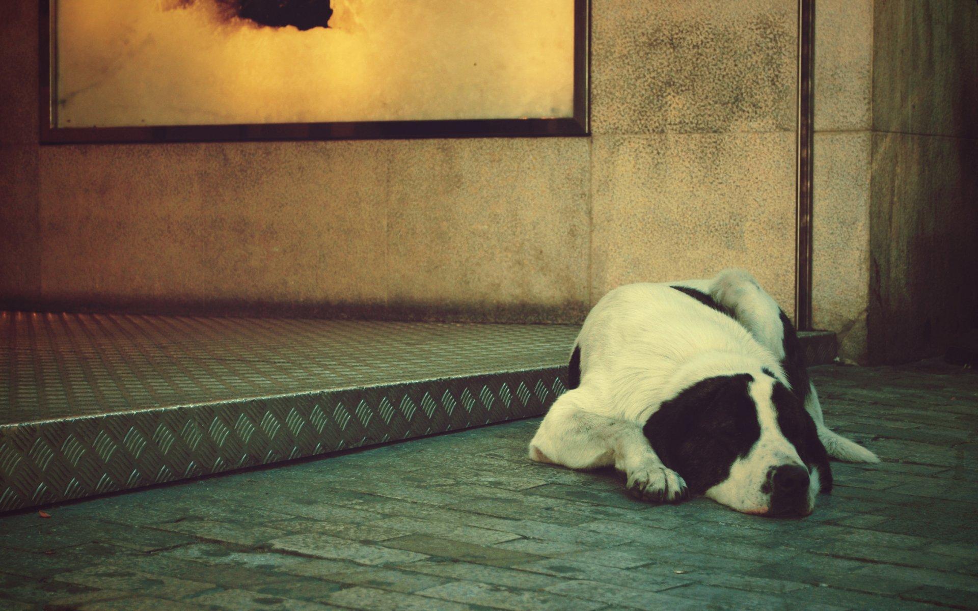 Черно-белый пес на полу  № 1157282  скачать