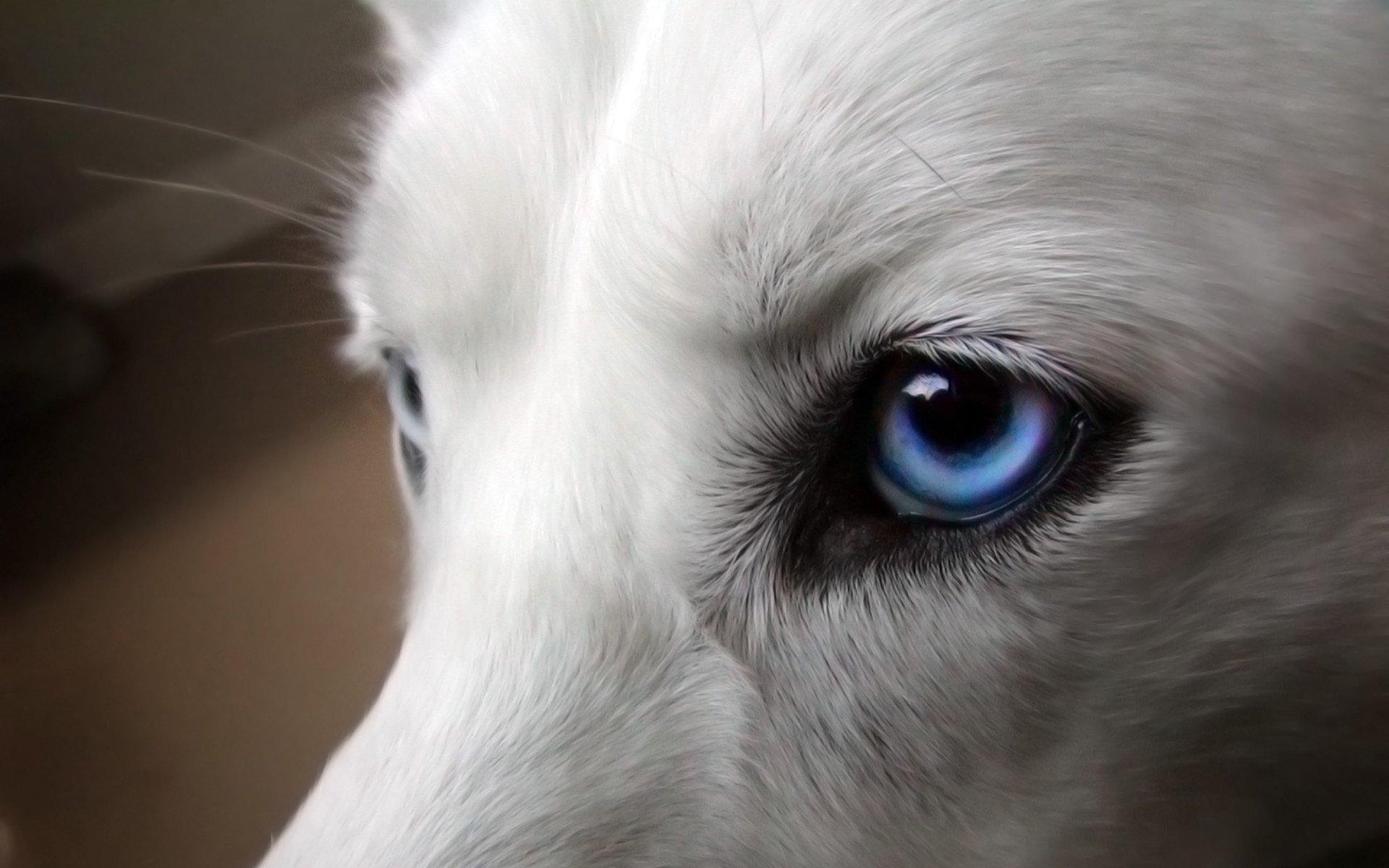 жизнь черно белые картинки с волком с голубыми глазами взгляде снимки