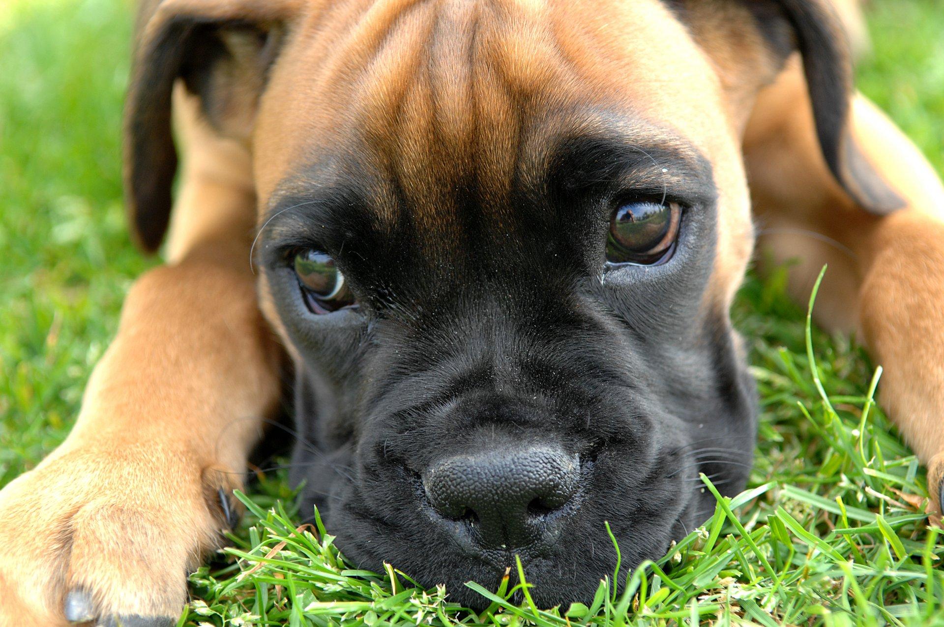 порода собаки бэнтебульдог
