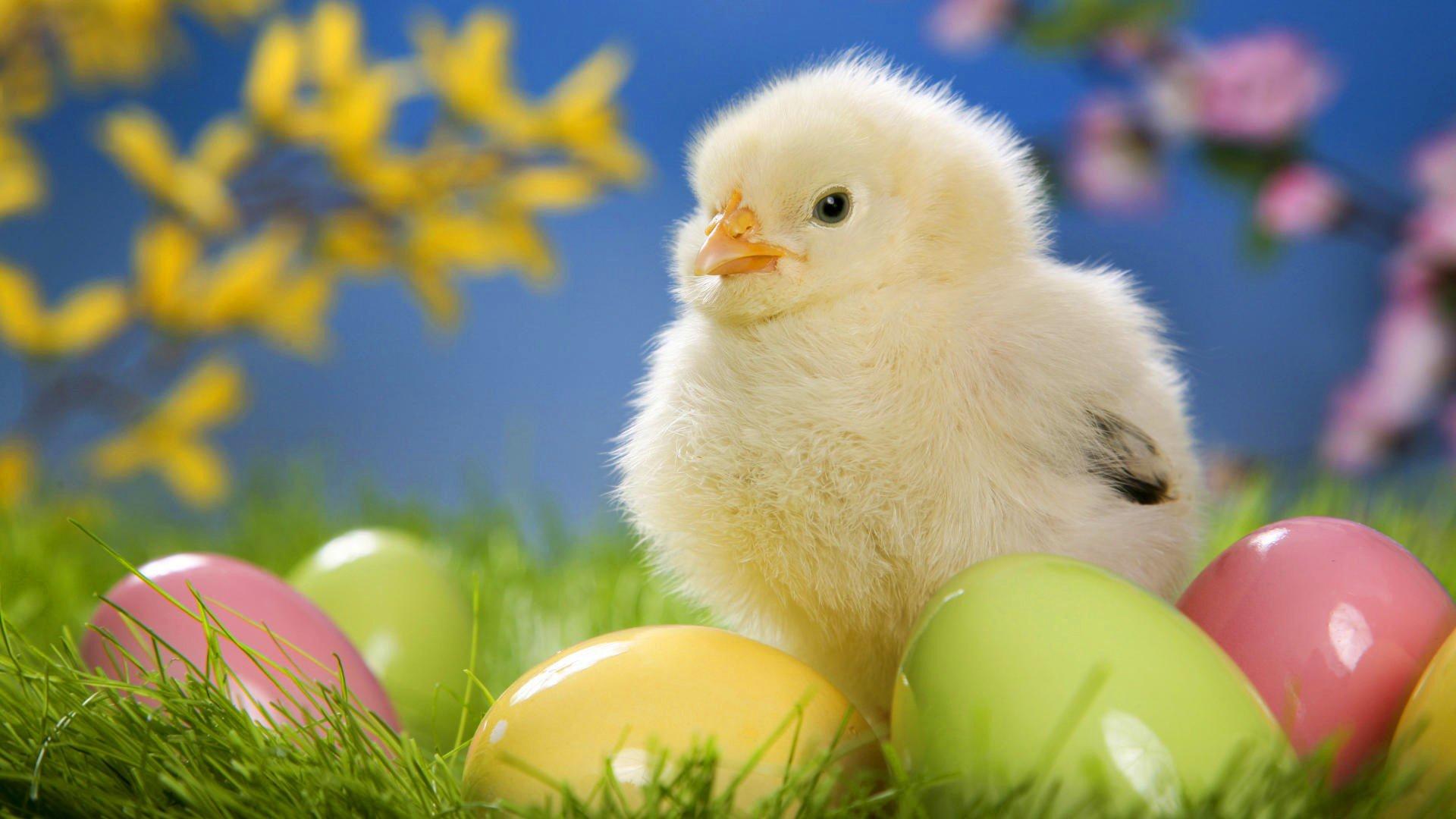 картинки на пасху с цыплятами потом певице повернулись