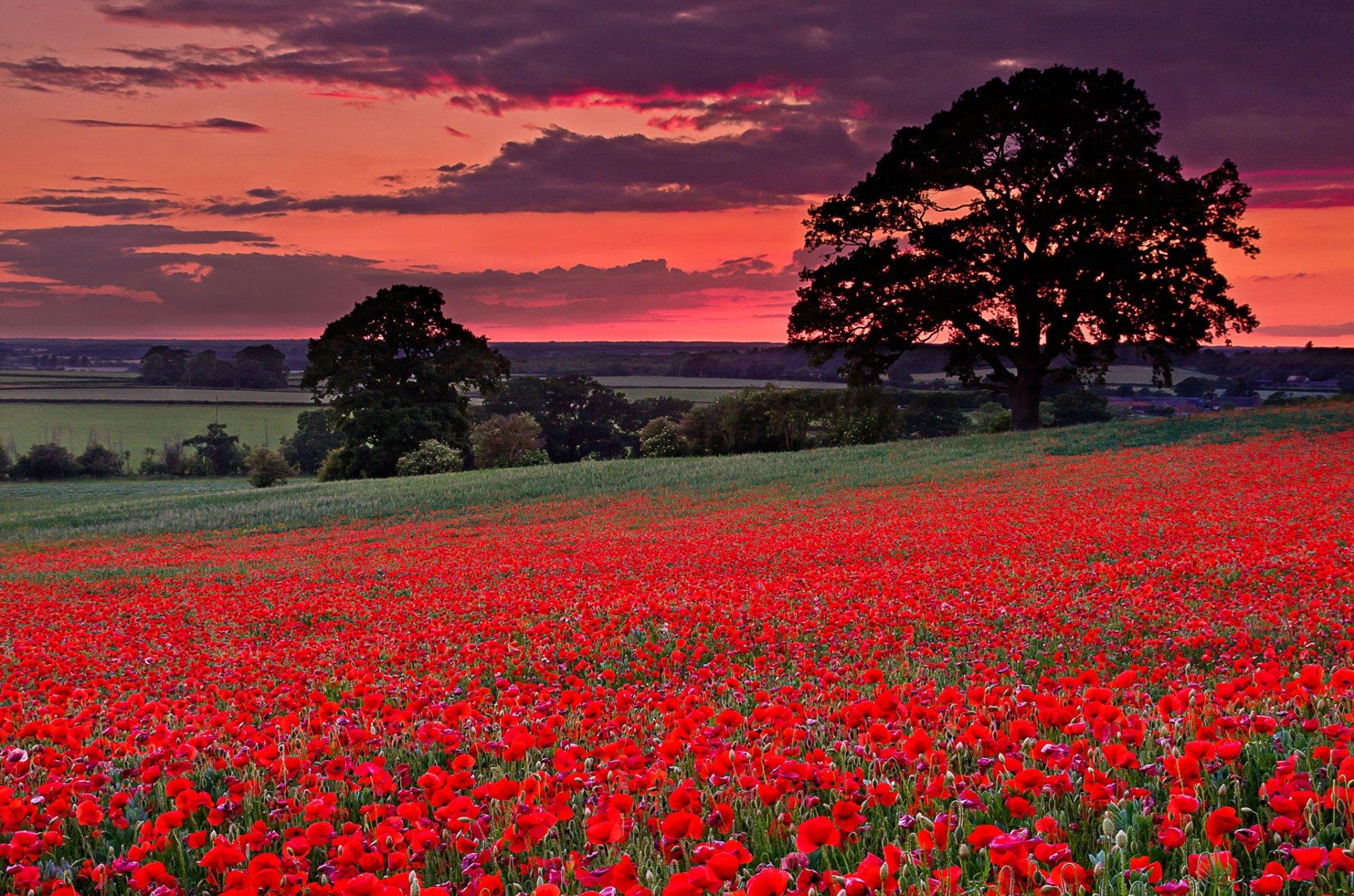 картинки с полем красными цветами и дорогой убийцы настаивал
