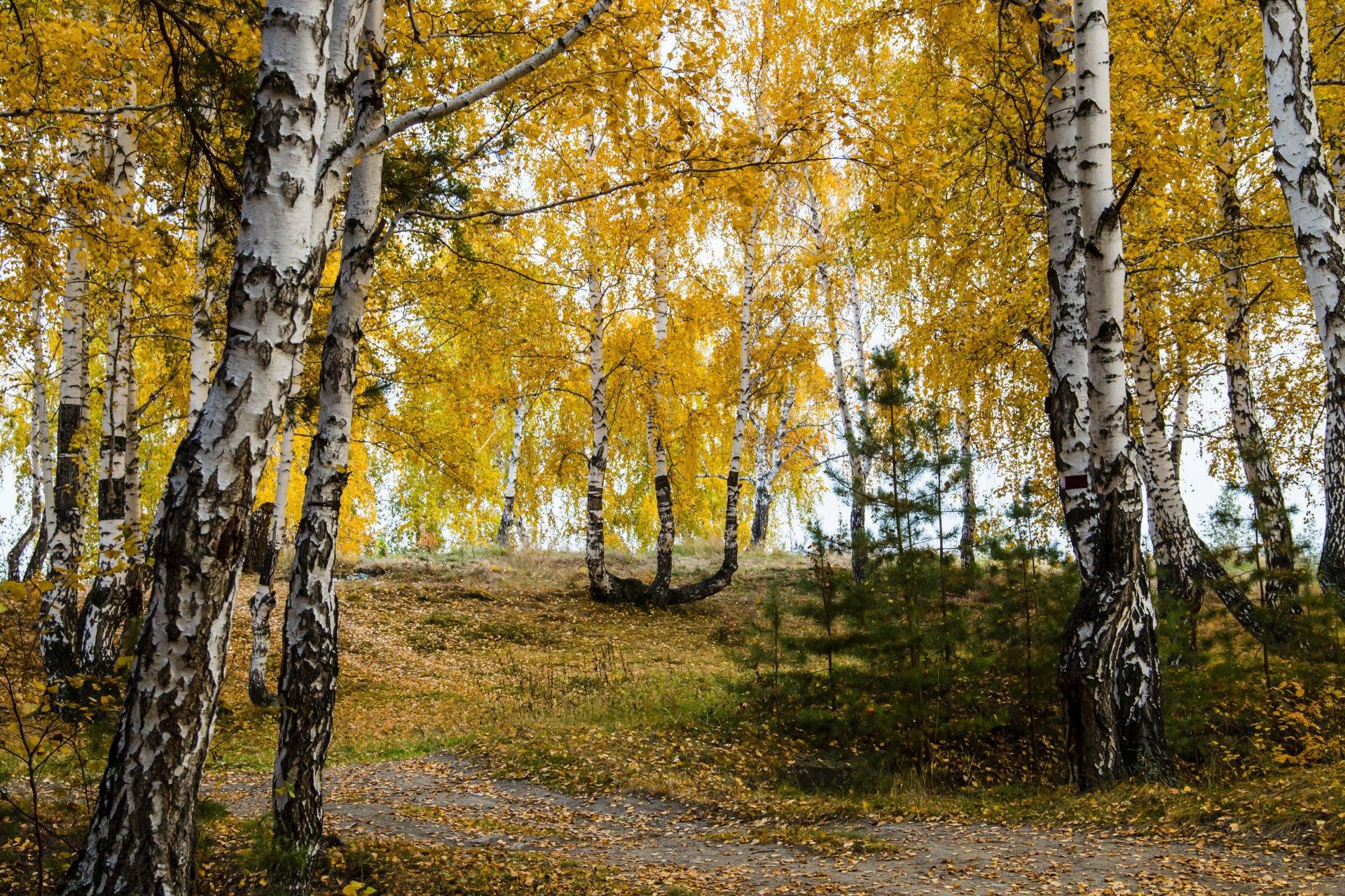 Обои березы, осень. Природа foto 18