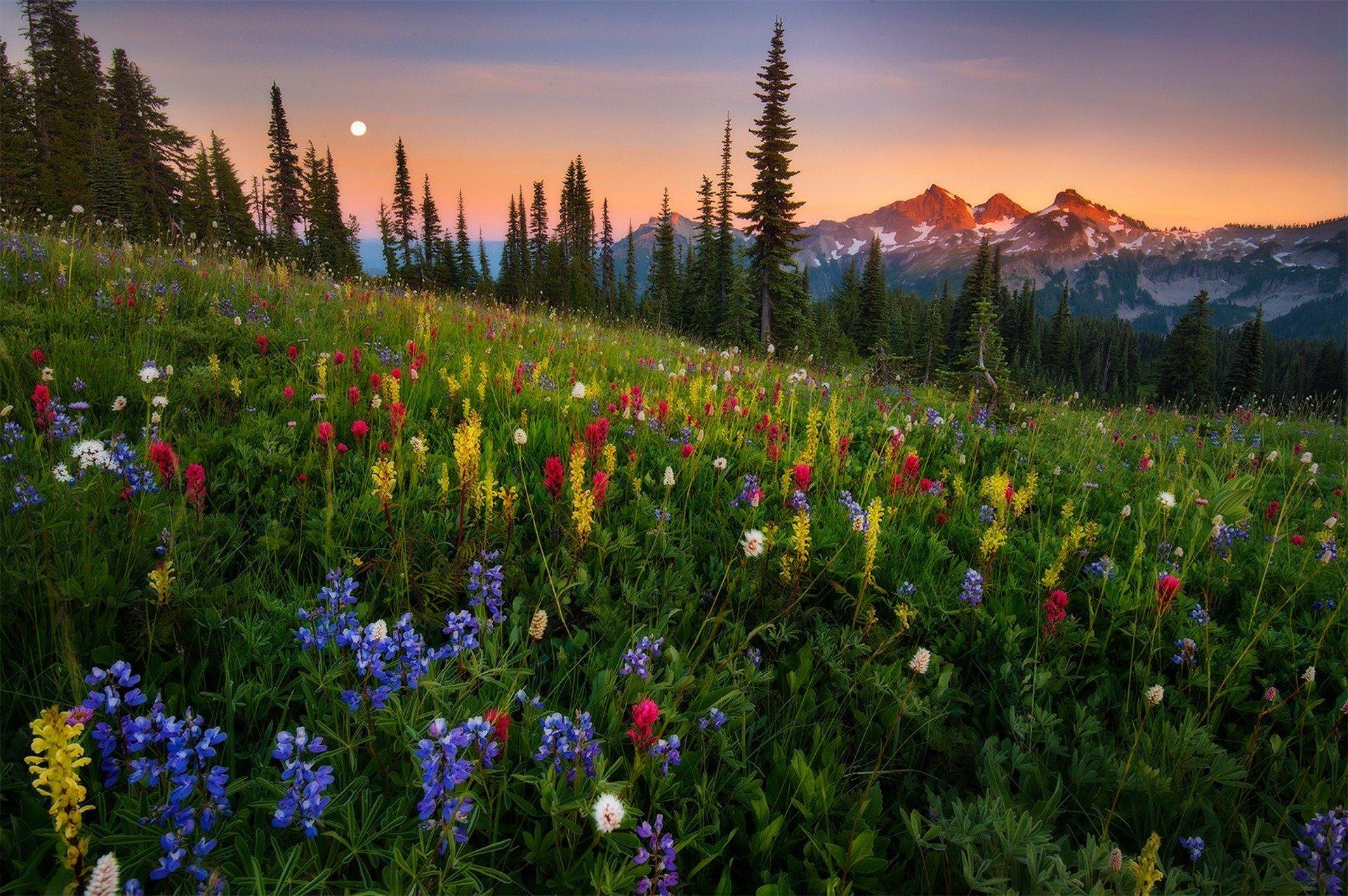 горы, ели, цветочная поляна  № 3586956 без смс